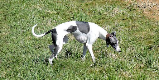 Koiran vapaana pitäminen sakko
