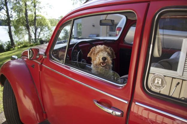Älä jätä karvakamua kuumaan autoon, muistuttaa ÄKSän avustajakoira Affe.