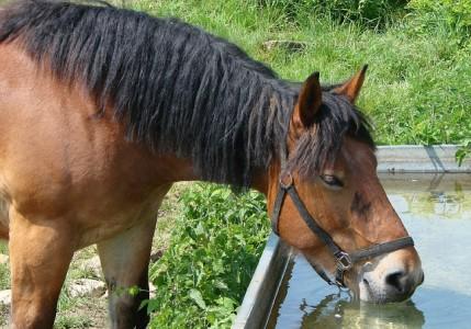 Kuvan hevonen ja juomakaukalo eivät liity tapaukseen.
