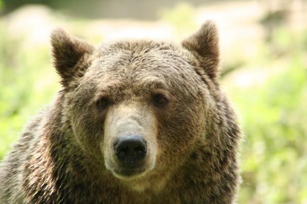 Keski-Suomeen lupa 12 karhun kaatoon